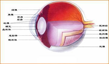 眼球解剖图